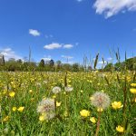 Picture of a view over a meadow with buttercups and other flowers
