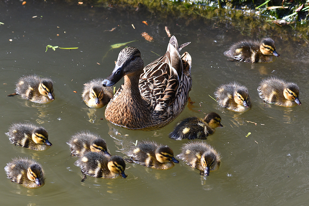 Picture of a duck with its ducklings
