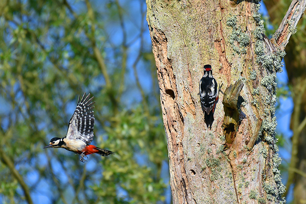 Picture of a pair of Woodpeckers, the female flying away