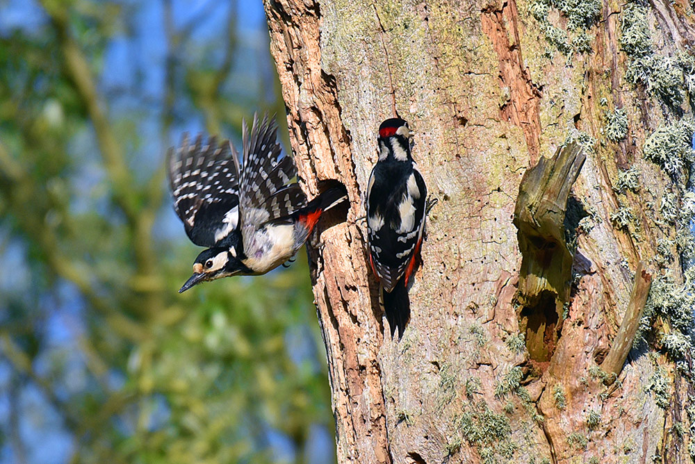 Picture of a pair of Woodpeckers, the female flying off