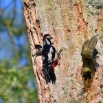 Picture of a pair of Woodpeckers, the female peeking out of the nest