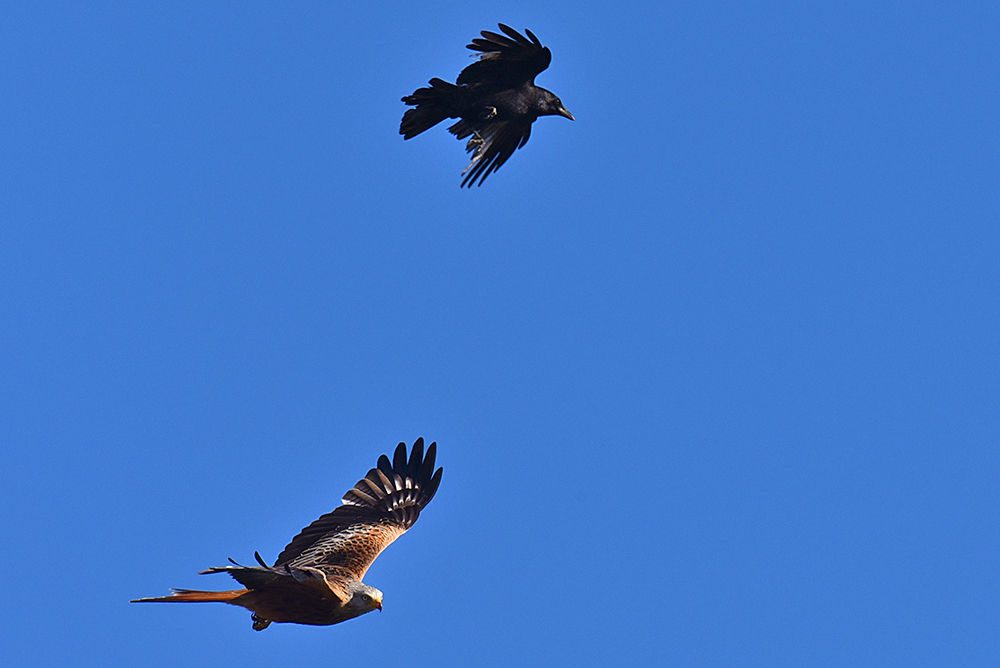 Picture of a Rook vs Red Kite aerial fight