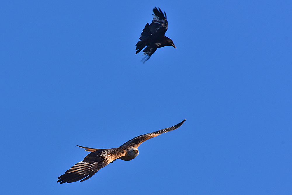 Picture of an aerial fight Rook vs Red Kite