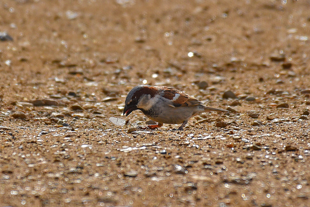Picture of a Sparrow eating an insect on a path