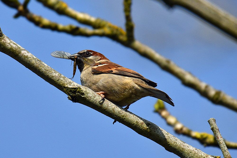 Picture of a Sparrow with an insect in its beak