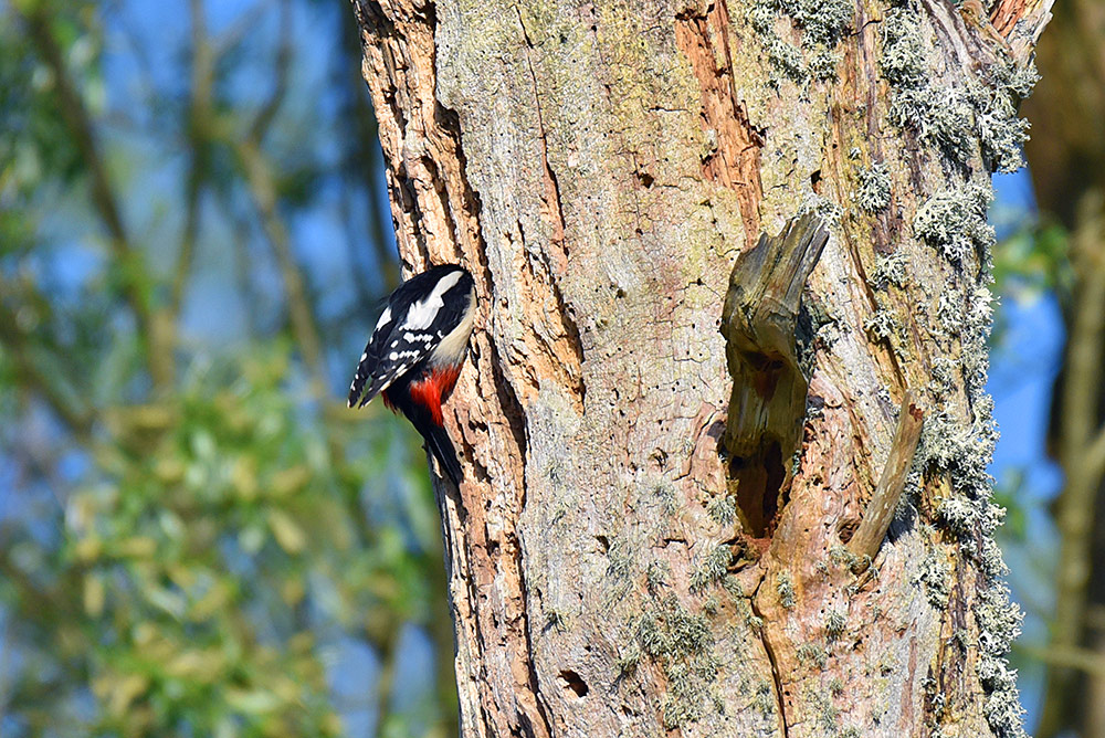 Picture of a Woodpecker climbing into a nest