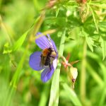 Picture of a Bumblebee in a flower