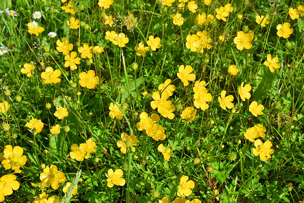 Picture of Buttercups on a canal bank