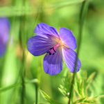Picture of a backlit purple flower