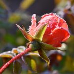 Picture of a red Rose covered with ice crystals