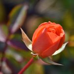 Picture of a rose in flower