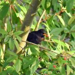 Picture of a Blackbird with a berry