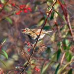 Picture of a Redwing with a berry