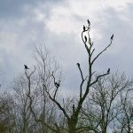 Picture of Cormorants resting on a tree