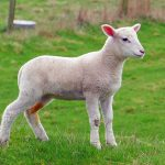Picture of a young lamb standing to attention