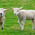 Picture of two lambs looking