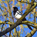 Picture of a Magpie