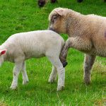 Picture of an older lamb pushing a younger lamb with its leg