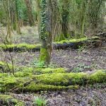 Picture of rotting trees covered with moss