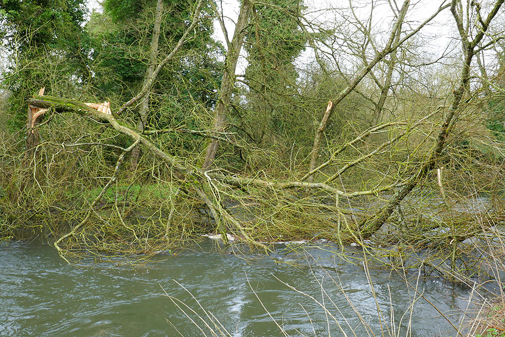 Picture of a twisted fallen tree over the River Kennet