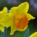 Picture of a wet Daffodil after earlier rain