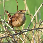 Picture of a Wren in undergrowth