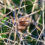 Picture of a Wren with its beak open in undergrowth