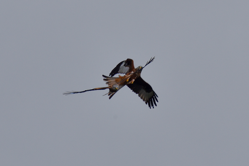 Picture of two Red Kites in an aerial tussle