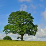 Picture of a large single oak tree in a meadow