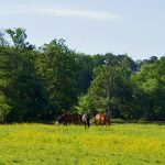 Picture of three horses grazing in a meadow