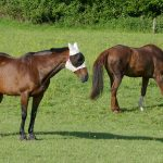 Picture of two horses wearing mesh covers over their eyes and ears