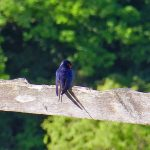 Picture of a Swallow on a fence