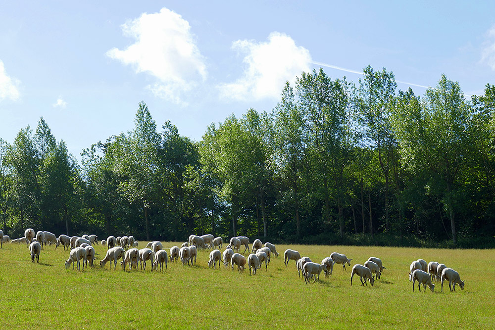 Picture of sheep grazing in a meadow