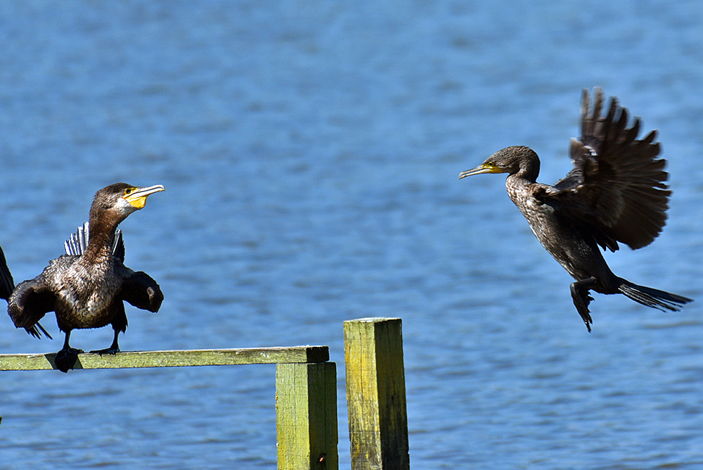 Picture of two Cormorants in a short fight