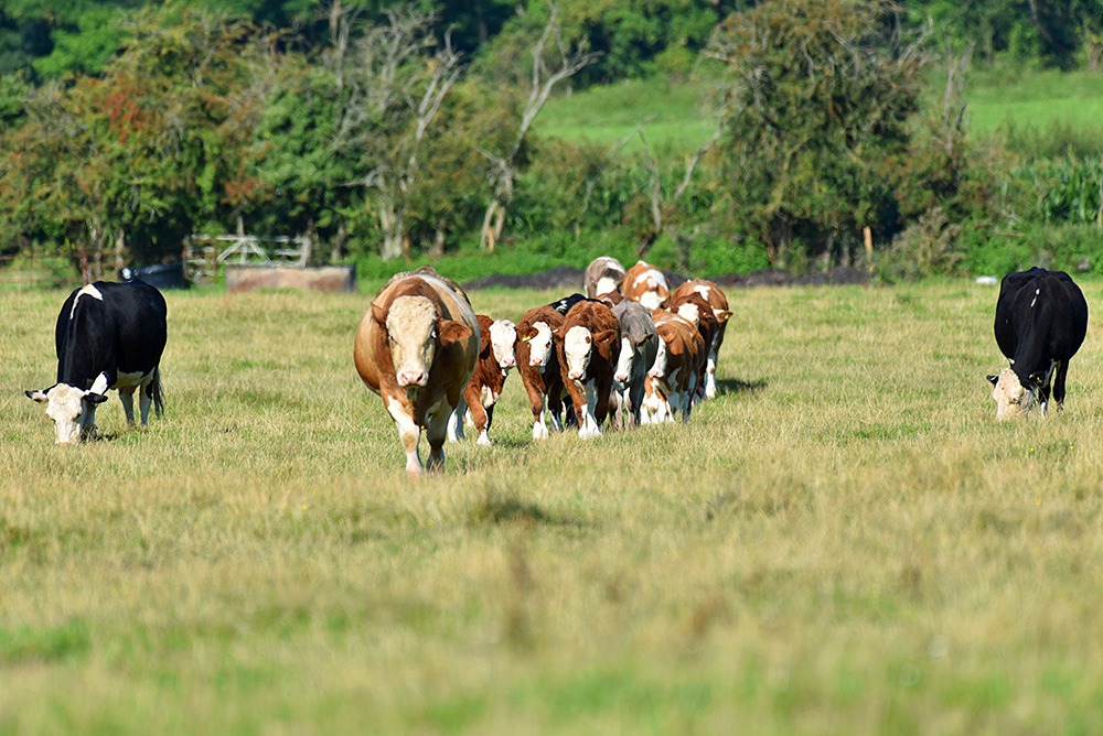 Picture of a number of cattle walking, both young and old