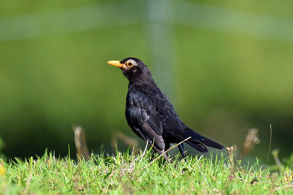 Picture of a Blackbird on the ground