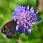 Picture of a butterfly feeding on a flower
