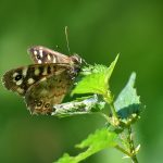 Picture of a butterfly of some nettles