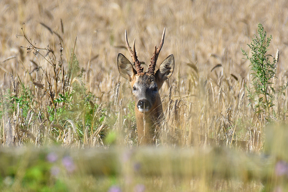 Picture of a Deer hiding in a field