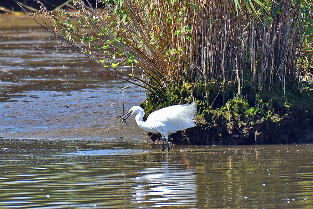 Picture of a Little Egret with a caught fish