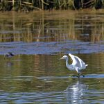 Picture of a Little Egret on the move