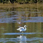 Picture of a Little Egret and a Redshank