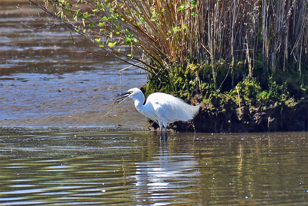 Picture of a Little Egret swallowing a fish