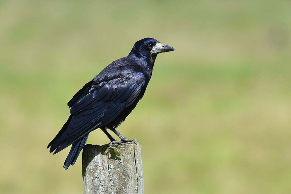 Picture of a Rook on a fence post