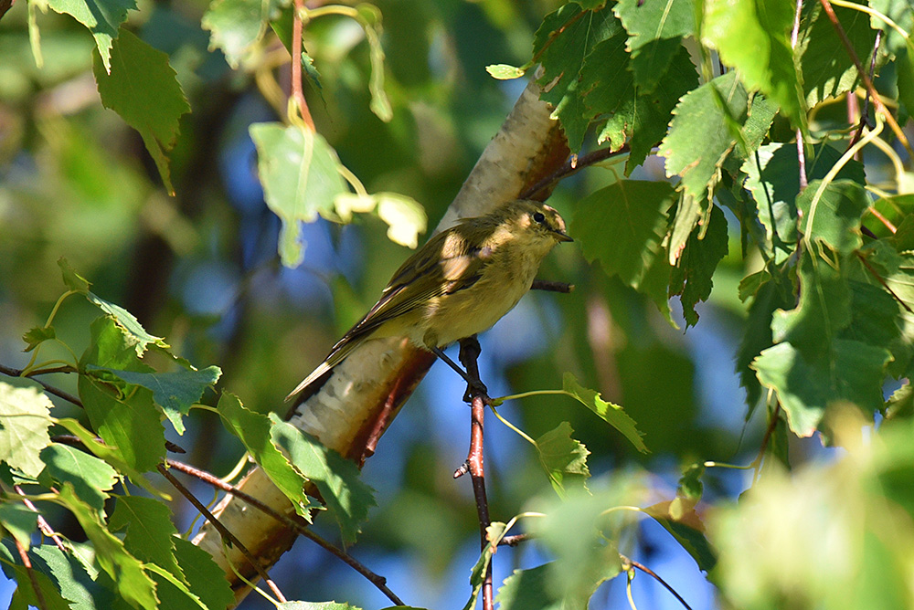 Picture of a Willow Warbler in a tree