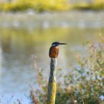 Picture of a Kingfisher sitting on a pole