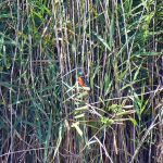 Picture of a Kingfisher sitting in the reeds