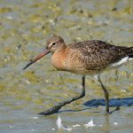 Picture of a Black-Tailed Godwit