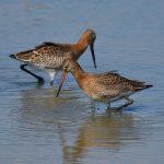 Picture of two Black-Tailed Godwits