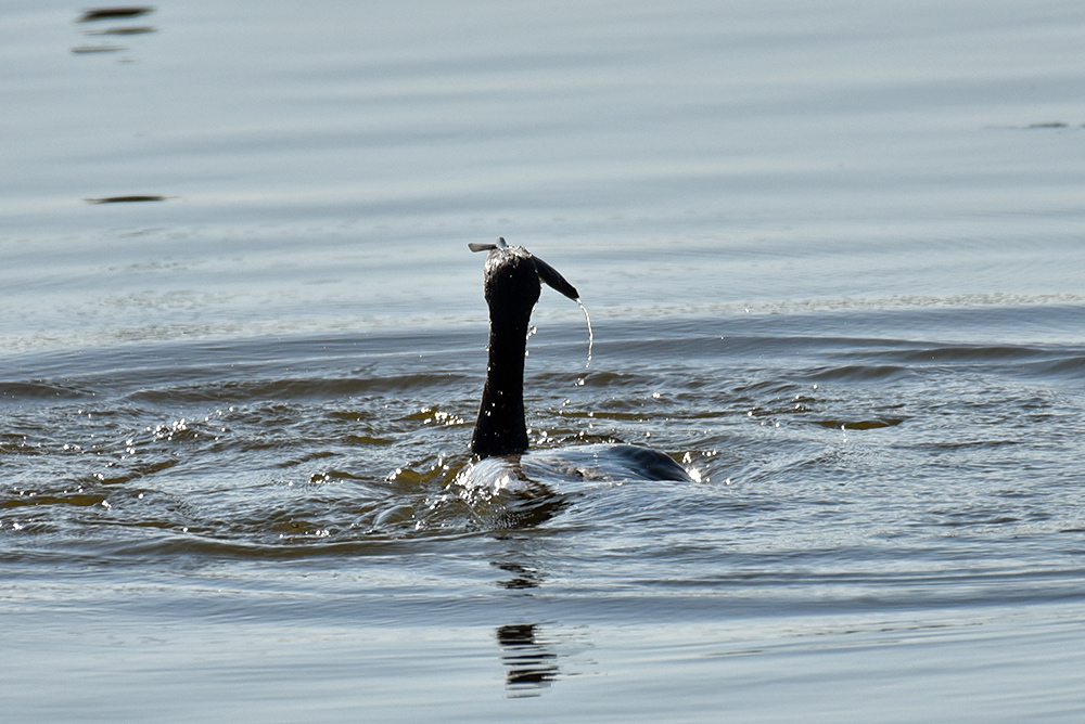 Picture of a Cormorant emerging with a fish
